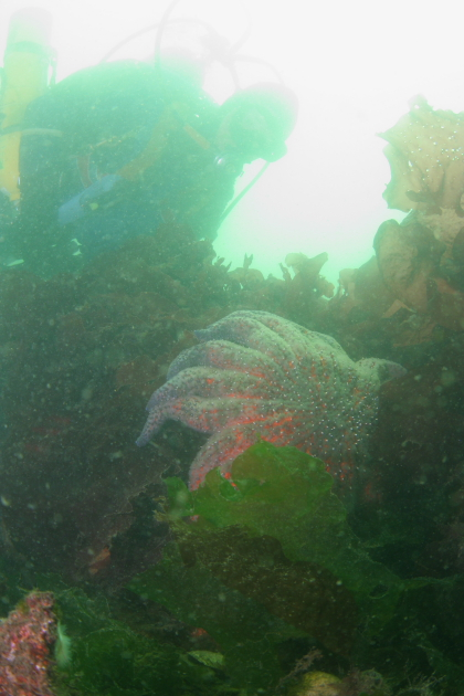 SUNFLOWER STAR ON REEF BALL