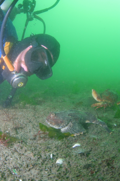 BUFFALO SCULPIN AND RED ROCK CRAB