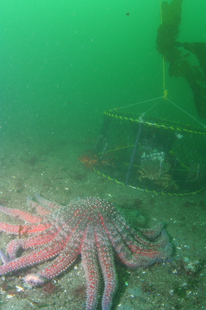 CRAB TRAP AND SUNFLOWER STAR