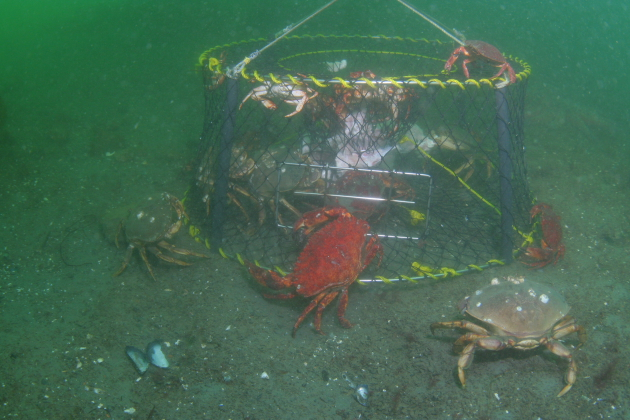 CRAB TRAP AND CRABS