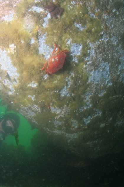 RED ROCK CRAB ON HULL