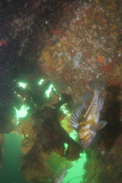 COPPER ROCKFISH IN WRECK