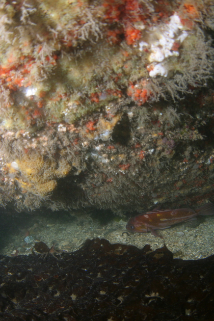 COPPER ROCKFISH UNDER HULL