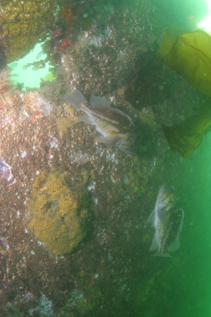COPPER ROCKFISH AND YELLOW SPONGE
