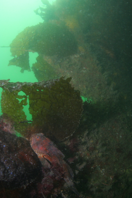 BUFFALO SCULPIN IN WRECK