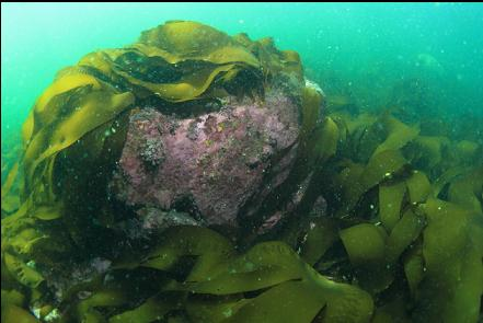 boulder and bottom kelp in the bay