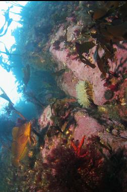 kelp greenling and anemone on shallow wall