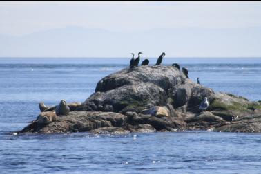 seals and cormorants on nearby rock