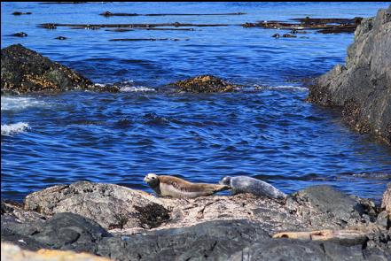 harbour seals on the islets with a long lens