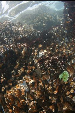 mussels, barnacles and green anemone