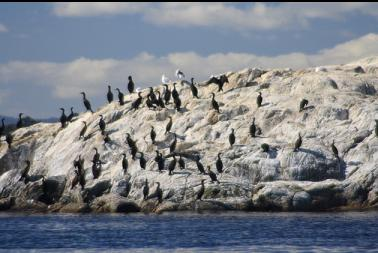 cormorants on nearby islet
