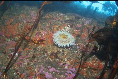 fish-eating anemone on shallow wall