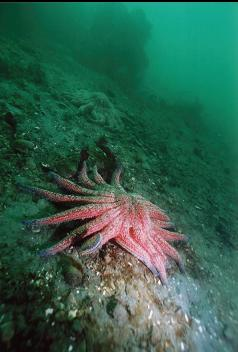 SUNFLOWER STAR UNDER PIER
