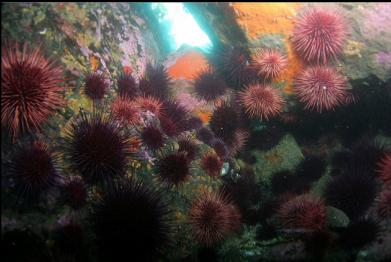 urchins near entry-point