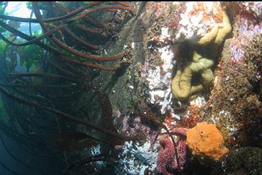 seastars and yellow sponge next to stalked kelp