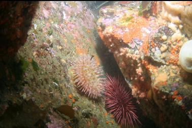 anemone, etc in shallows