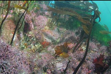 kelp greenling in shallows