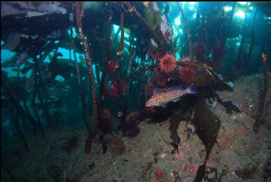 kelp greenling and urchins under stalked kelp