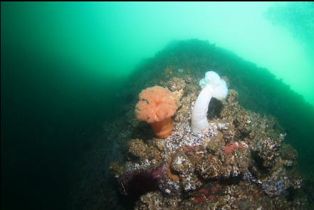 plumose anemones and cemented tube worms near the top of the wall