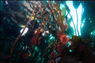 urchins on stalked kelp