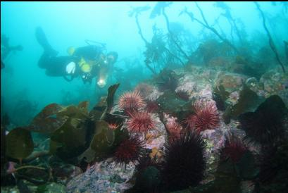 urchins and stalked kelp