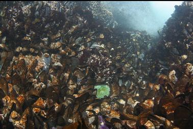 mussels and green anemone