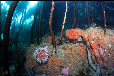 fish-eating anemones under stalked kelp