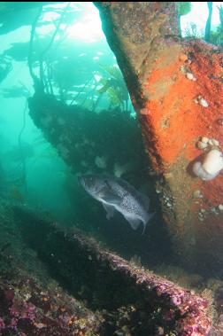 black rockfish and wreckage