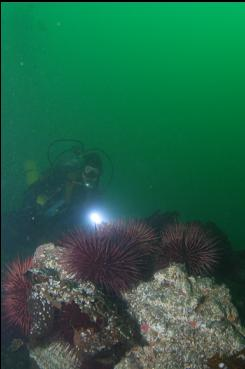 URCHINS ON DEEPER REEF