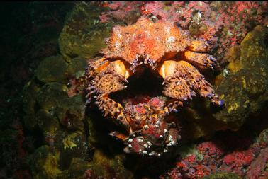 puget sound king crabs