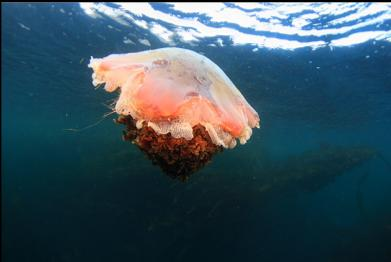 another dead lion's mane jelly