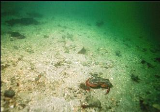 RED ROCK CRAB ON SANDY BOTTOM