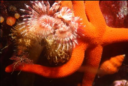 tube worms and seastar
