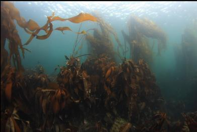 kelp with no current