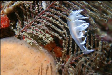 nudibranch on hydroid