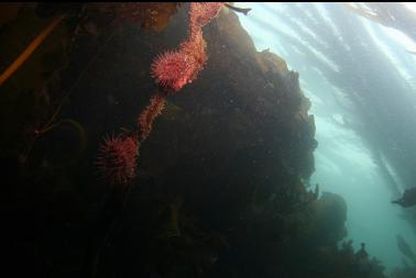 brooding anemones on kelp