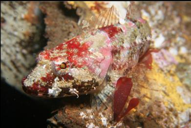 sculpin on wreck