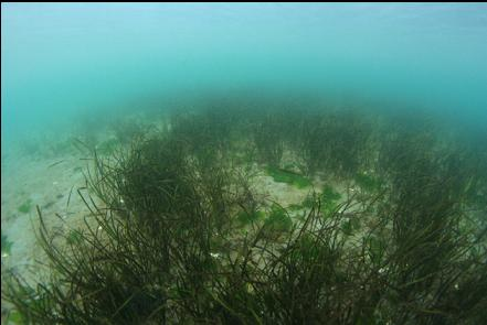 eelgrass in the bay