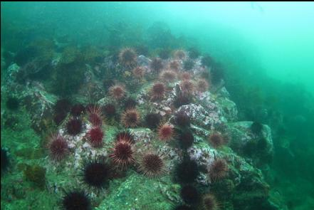 rocky slope and urchins