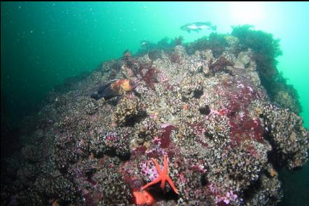 quillback rockfish and cemented tube worms