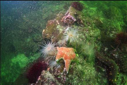 seastar, urchins and tube-dwelling anemones