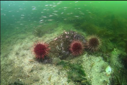 urchins and baby pipefish in the bay