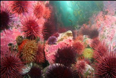 anemone, urchins and hydrocoral