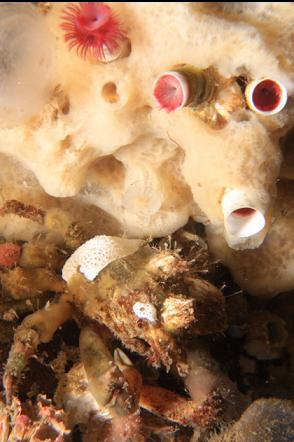 crab under sponge and tube worms