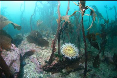 fish-eating anemone and stalked kelp