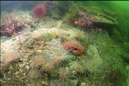 red rock crab and tube-dwelling anemones