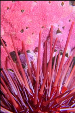 urchin and hydrocoral