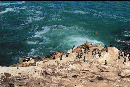 cormorants and sea lions