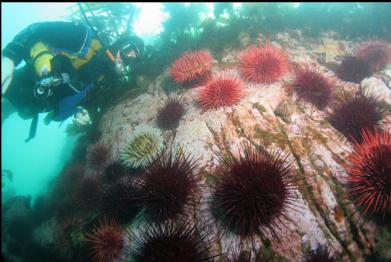 urchins and fish-eating anemones