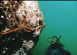 DIVER AND SEASTARS